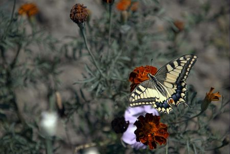 Papilio machaon, also known as the Common Yellow Swallowtail and the Old World Swallowtail. It is considered as the representative species of the Swallowtail or Papilionidae  and is spread right across the Palearctic region in Europe and Asia. photo