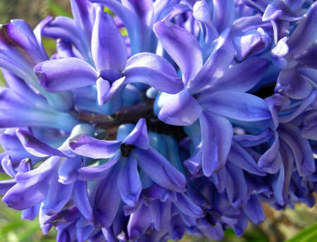 hyacinthus: Hyacinthus orientalis L., family Liliaceae. This flower is named named fine mythological young men - the Hyacinth. Wild forms grow in the countries of East Mediterranean and Central Asia. A plant contain colchicinum - the valuable medicinal substance used