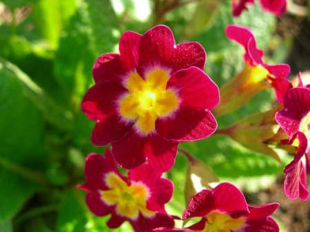polyanthus: Primula polyantha, Family: Primulaceae. Stock Photo