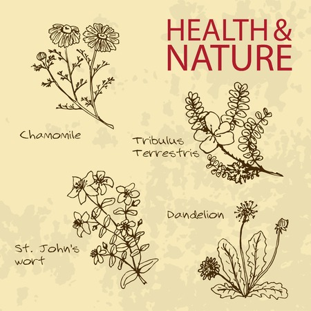 wort: Handdrawn Illustration - Health and Nature Set. Natural Supplements. Collection of Medicine Herbs. Chamomile, Dandelion,  St Johns wort, Tribulus Terrestris