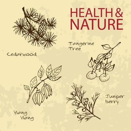 tangerine: Handdrawn Illustration - Health and Nature Set. Labels for Essential Oils and Natural Supplements. Ylang Ylang, Tangerine, Cedarwood, Juniper Berry