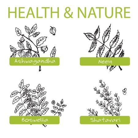 neem: Handdrawn Set - Health and Nature. Collection of Medicine Herbs. Natural Supplements. Neem, Boswellia, Shatavari, Ashwagandha Illustration