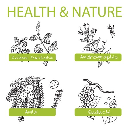 Handdrawn Set - Health and Nature. Collection of Medicine Herbs.  Natural Supplements. Coleus forskohlii, Andrographis, Guduchi, Amla Vector