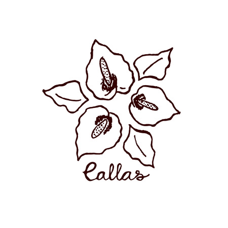 bog: Handsketched bouquet of callas.  Floral label.  Suitable for ads, signboards, identity and wedding designs