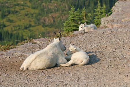 cabra montes: Cabra mont�s (oreamnos americanus), el Parque Nacional los Glaciares, Montana, EE.UU.  Foto de archivo