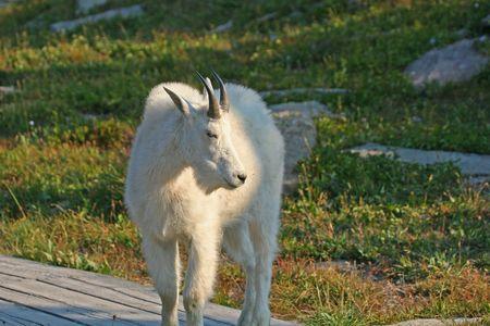berggeit: Mountain Goat (oreamnos americanus), Glacier National Park, Montana, Verenigde Staten
