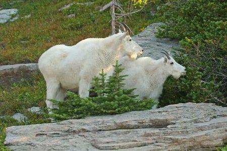 mountain goats: Capre della montagna (oreamnos americanus), parco nazionale del ghiacciaio, Montana, S.U.A.
