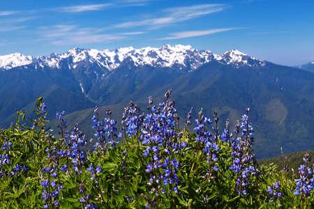 wild flowers: Orkaan Ridge, Olympic National Park, Washington, Verenigde Staten