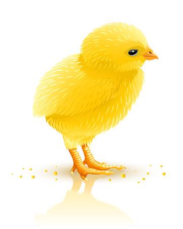 little yellow chicken isolated - vector illustration Vector