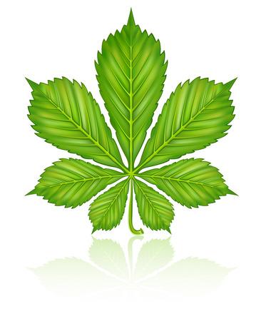 chestnut tree: green leaf of chestnut tree isolated on white