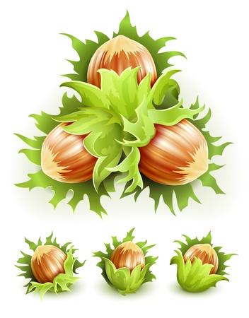 avellanas: Nueces de filbert en la c�scara dura del cl�ster. Ilustraci�n vectorial aislada sobre fondo blanco Vectores