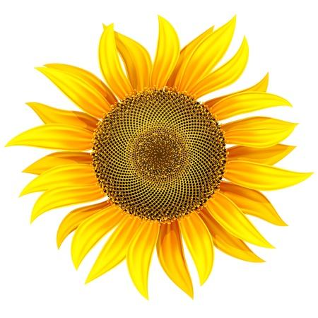 sunflower drawing: yellow flower of sunflower illustration. Gradient mesh used Illustration