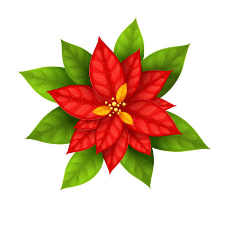 poinsettia: Red Christmas Star flower poinsettia isolated on white background - eps10 vector illustration