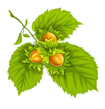 hazelnut: Nuts of hazelnut on green leaves.illustration. Isolated on white background