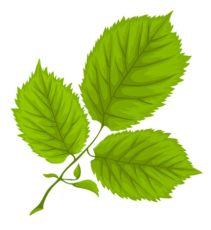 herbarium: Branch with green leaves. Illustration. Isolated on white background