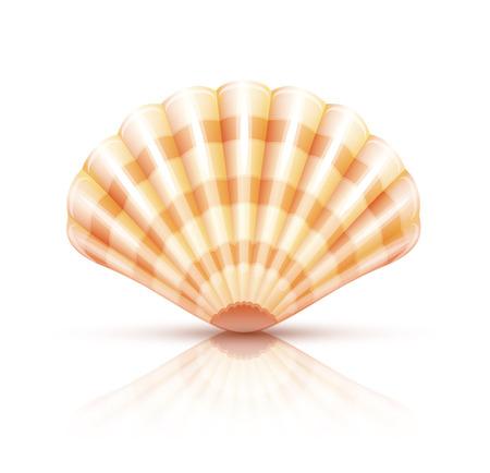 mollusc: Shellfish seashell. Eps10 vector illustration. Isolated on white background