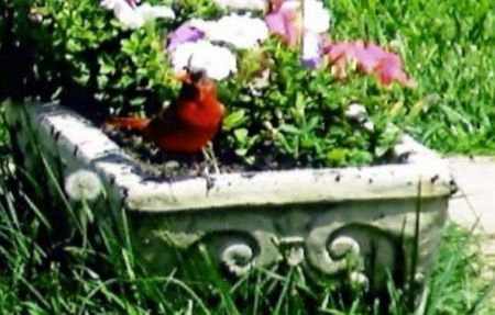 planter: Redbird on A Planter of Flowers Stock Photo