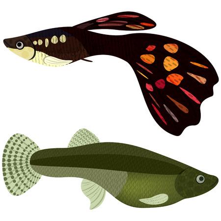 guppy: Guppy fishes