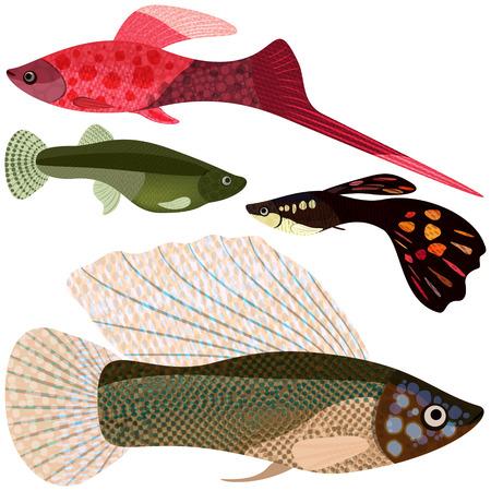 guppy fish: Set viviparous fishes aquarium: sword-bearer, guppy, poecilia velifera