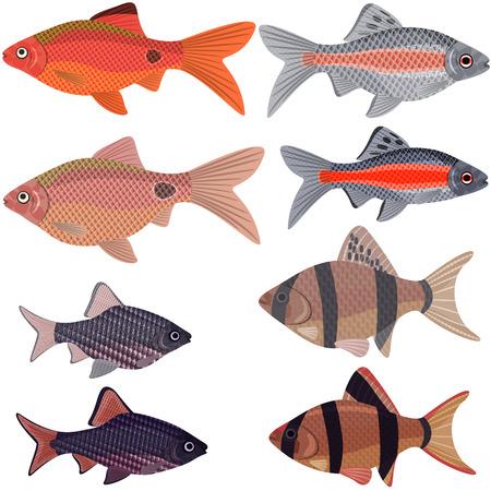 tetrazona: Exotic aquarium fish sort karpovy barbs, EPS10 - vector graphics.