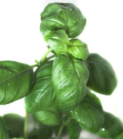 green basil on white background