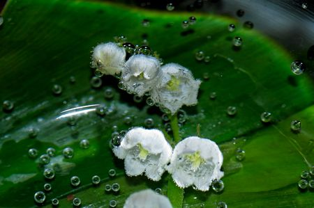 lily of the valley green white flower photo