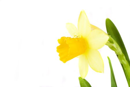 yellow spring daffodil on white background whit drops. Stock Photo