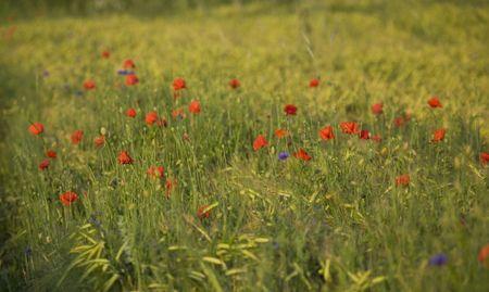bright; europe; flora; flower; nature; poland; poppy; red; seed; shoot; summer; wild; white; blue, field, meadow, corn-flower, green photo