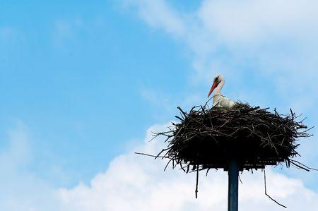 red beak: White stork with red beak bill on the nest