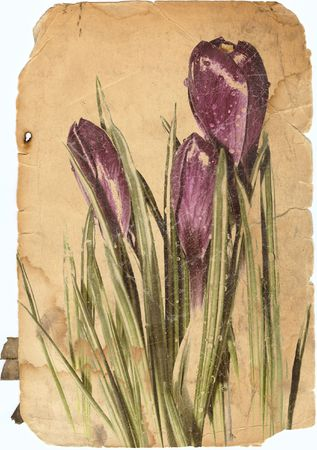 Soft violet springtime crocus flowers old photo