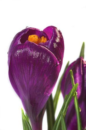 Soft violet springtime crocus flowers against a white background Stock Photo - 4352964