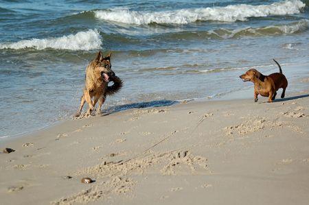 dachshund and german shepherd on sand beach coast in Poland photo