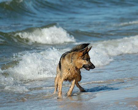 german shepherd  on sand beach coast in Poland photo
