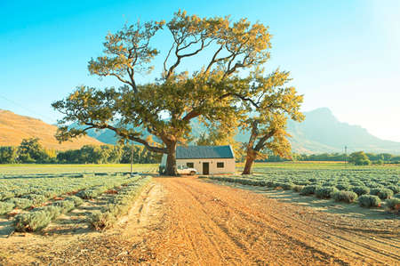 Late afternoon on a lavender farm with a large oak tree in Franschoek, South Africa