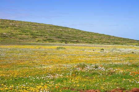 Flowers in dessert during spring season in Western Coast National Park, South Africa  - focus on the hill photo
