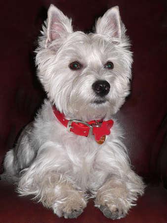 cute westie: West Highland Terrier Portrait.
