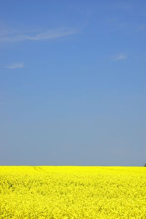 rapeseed field with blue sky and text space