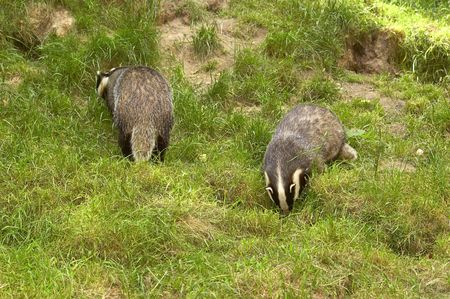 omnivore: Badger Stock Photo
