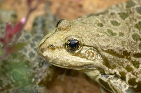 croak: Frog Stock Photo