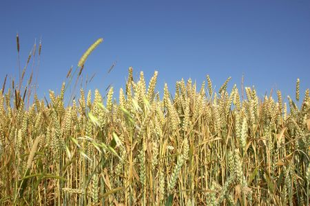 A wheat field against a blue sky. Stock Photo