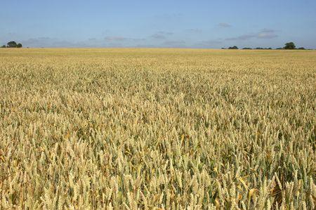 cropcircle: A wheat field