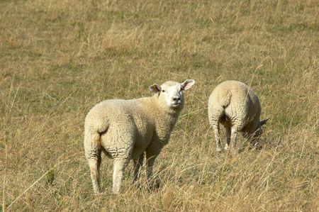 bah: sheep