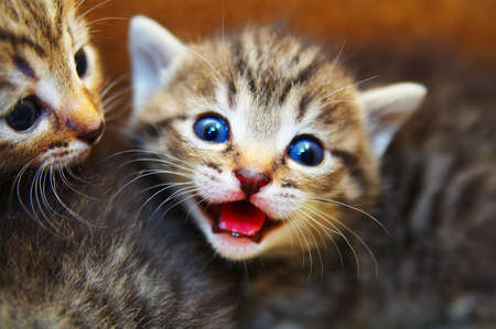mewing: Small mewing kitten