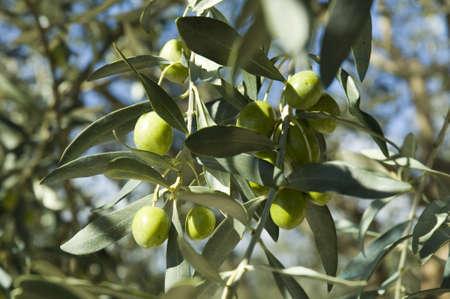 FIELD TREE OLIVIER commune of MERINDOL OLIVE-TREES - NORTH VENTOUX - VAUCLUSE Stock Photo