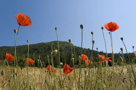 FLOWERS OF POPPIES IN THE MIDDLE OF CORNS - CORNILLAC - DROME PROVENCALE