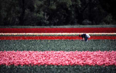 FIELD FLOWERS OF TULIP - HARVEST - JONQUIERE - VAUCLUSE