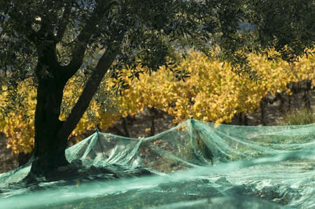 olive trees and grapevines of color