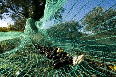 winters: net harvests olives