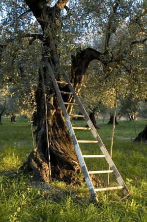 Field of olive trees