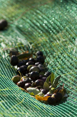 OLIVES FALLS ON GREEN NET OF HARVEST OF OLIVES - MIRABEL DROME
